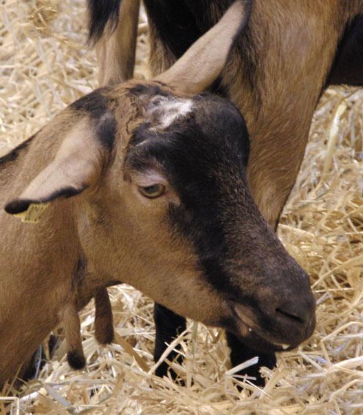 Альпийские козы внешний вид, тело, темперамент