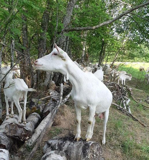Происхождение коз зааненской породы