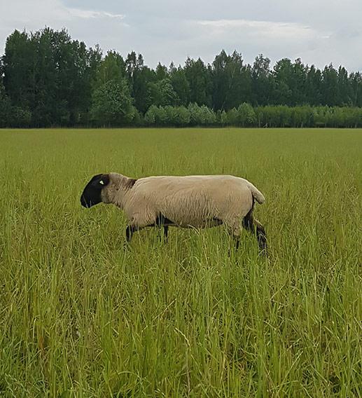 Происхождение породы овец суффолк