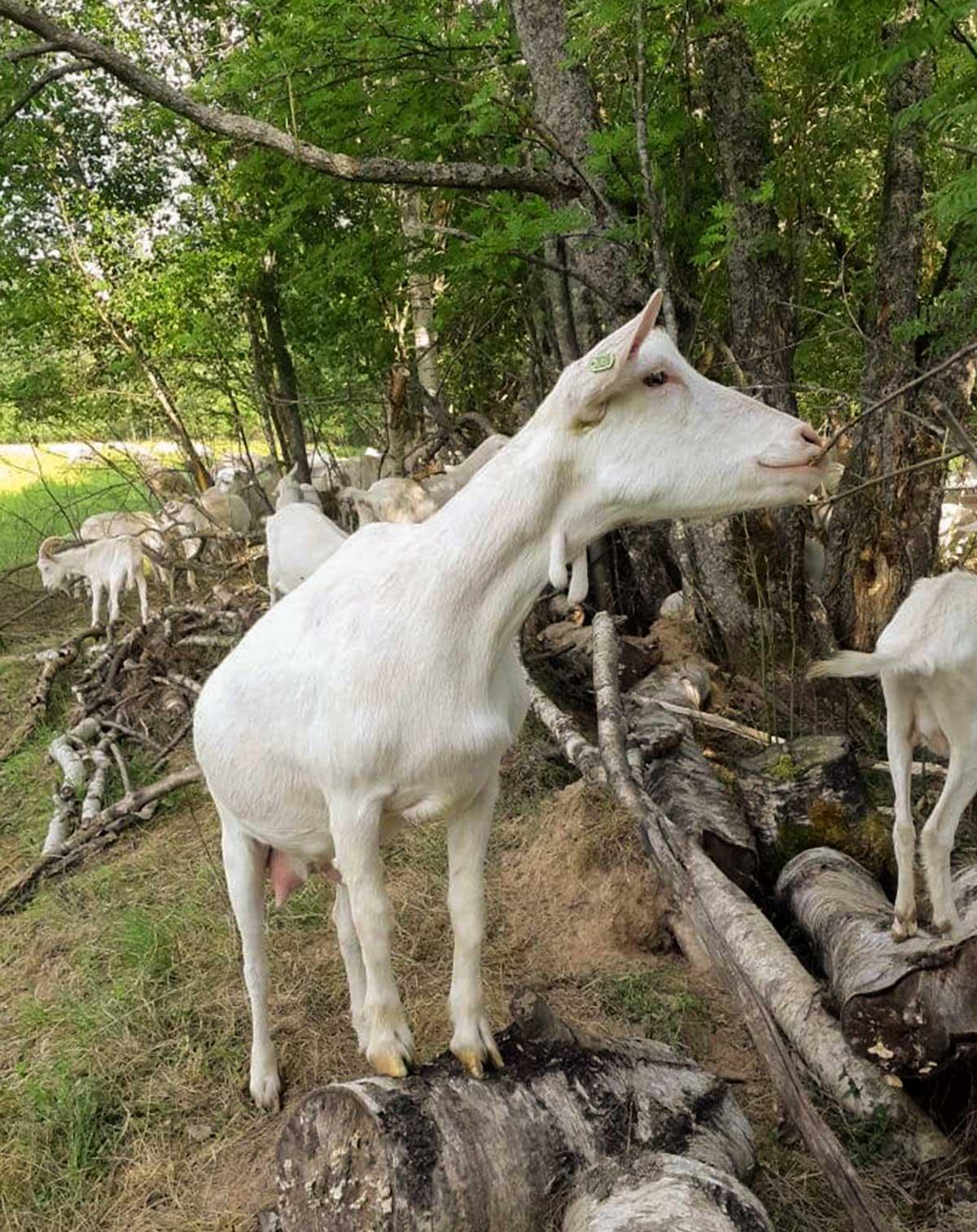 Тверской урожай - продукция - козы
