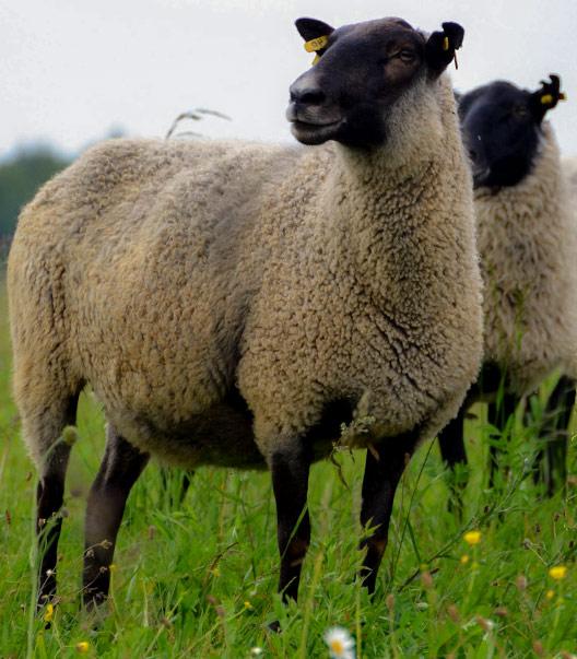 Внешний вид, темперамент романовских овец